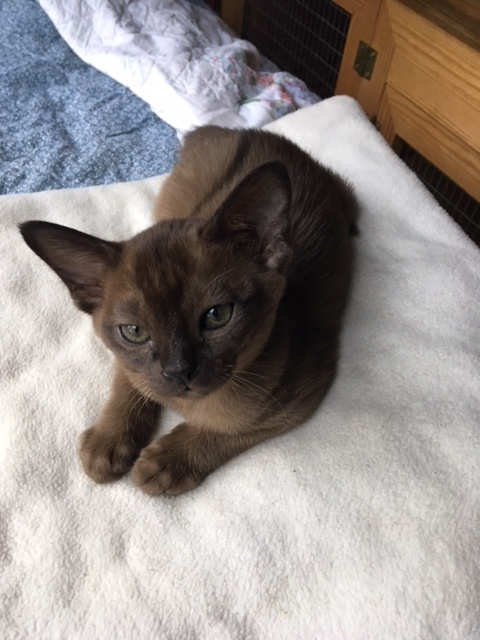 Breeders of Burmese Cats in South Yorkshire, UK